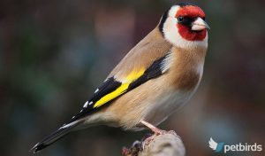 Breeding Goldfinches