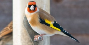 Goldfinch diet
