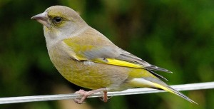 Greenfinch – Carduelis chloris