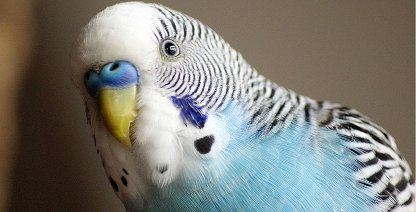 budgies male